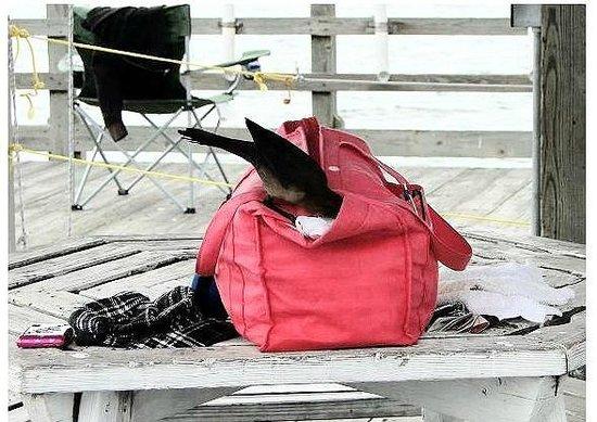 Ocean Crest Pier: sneaky bird going into purse