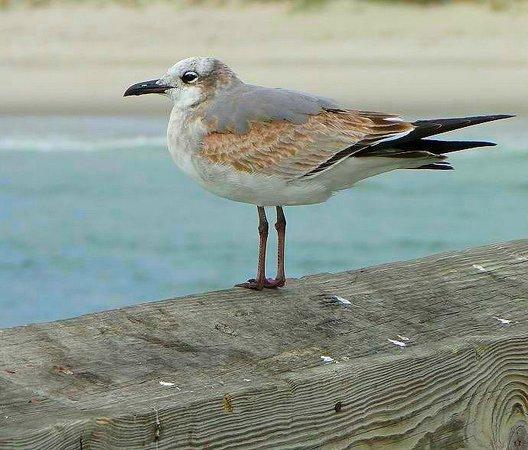 Ocean Crest Pier: seagull looking for a handout