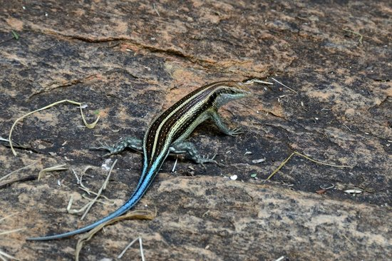 Kenya Incentive Tours & Safaris - Day Tours : Unidentified lizard