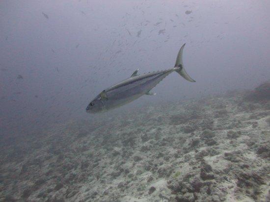 Dive Club Laamu: Yellow Fin Tuna