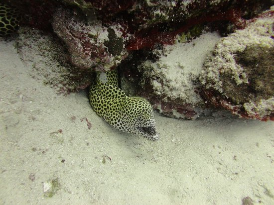 Laamu Atoll : Honeycomb Moray Eel on outer reef