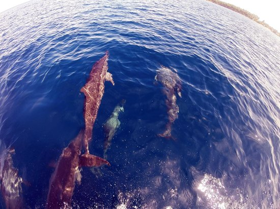 Laamu Atoll : Dolphins swimming with boat during Dolphin Watching trip