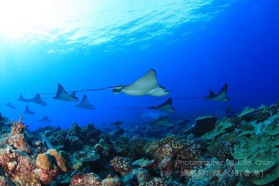 Dive Club Laamu: Eagle rays in Mundhoo Kandu