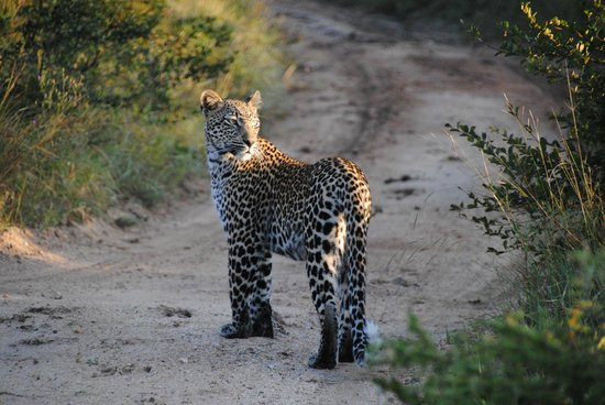 Singita Ebony Lodge: Leopard