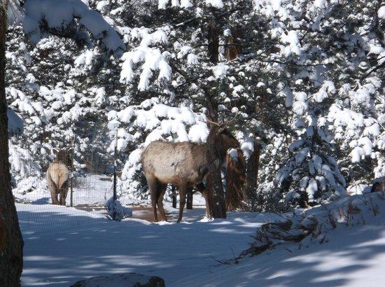 Stanley Hotel: Elk