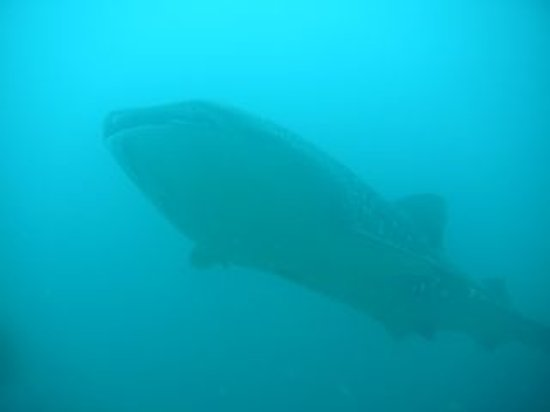 Santa Catalina Inn: whale shark sightings