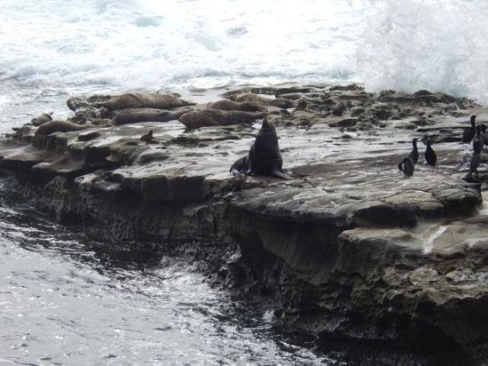 La Jolla Cove : wildlife viewing