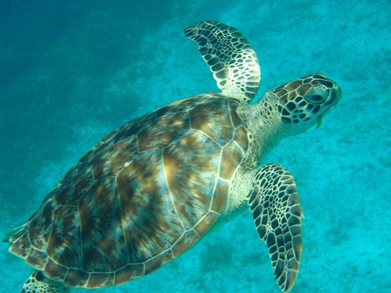 Aristocat Charters: Another of many turtles