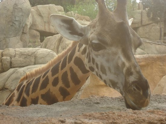Bioparc Valencia: Girafe de très près