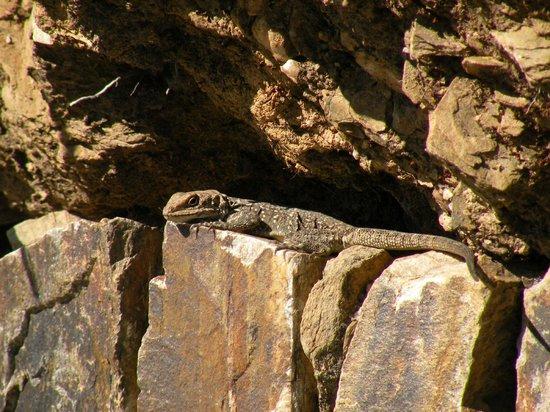 Trishul Orchard Resort : chameleon