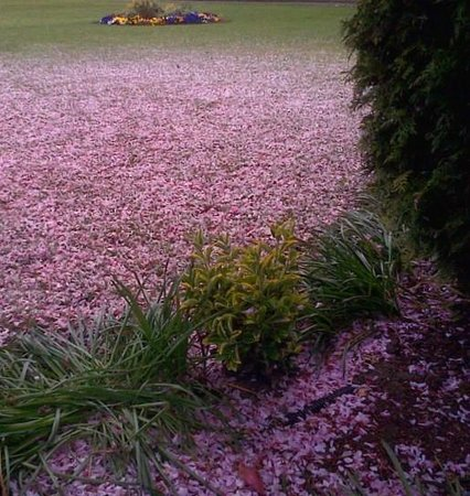 Orsett Hall: Blossoms carpeted the lawn, Easter 2014