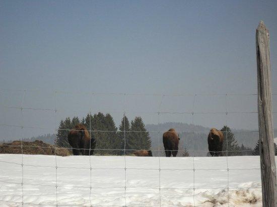 Ferme Auberge La combe aux bisons : 13/03/2013