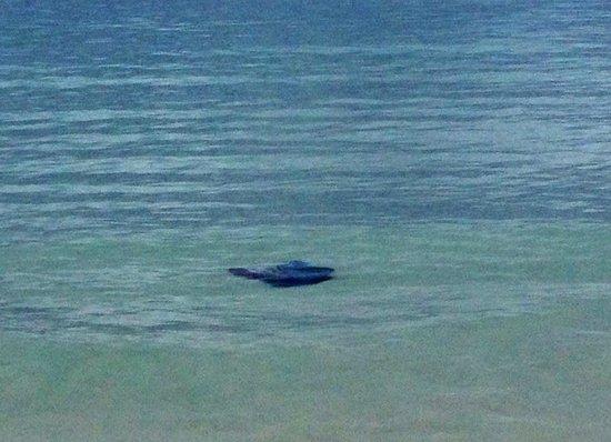 Hilton Sandestin Beach, Golf Resort & Spa: Sea Turtle