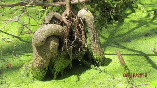 Conservation Park: 'Artistic' Cypress Knees - tree roots look like a constrictor