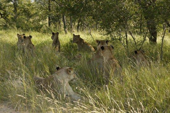 Imbali Safari Lodge: Jackpot ( spot 11 lioness )
