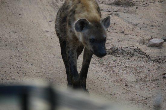 Imbali Safari Lodge: hyena - morning drive spot