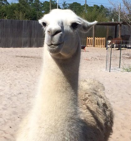 The Gulf Breeze ZOO : Llama!