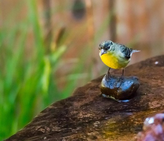 The Canyon Wren - Cabins for Two: A bird visits one of many birdbaths