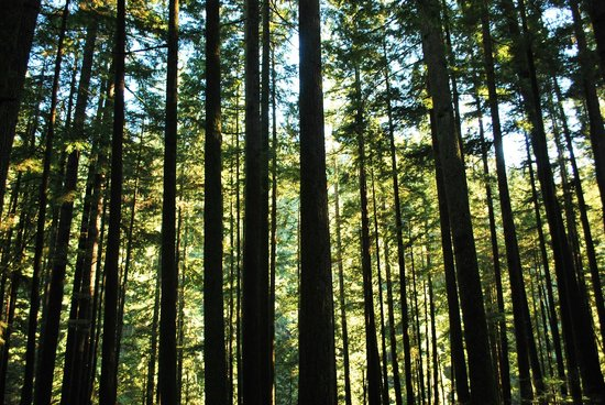 Lynn Canyon Park: The trees are the stars