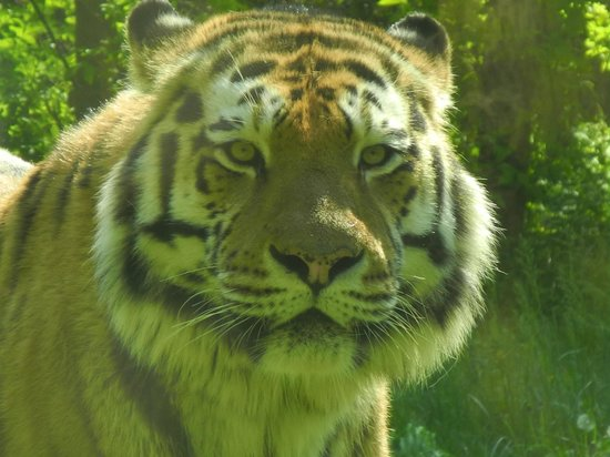 Parco Natura Viva: l'affascinante tigre