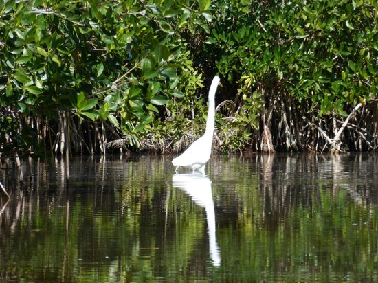 Shurr Adventure Company Day Tours: great white egret fishing