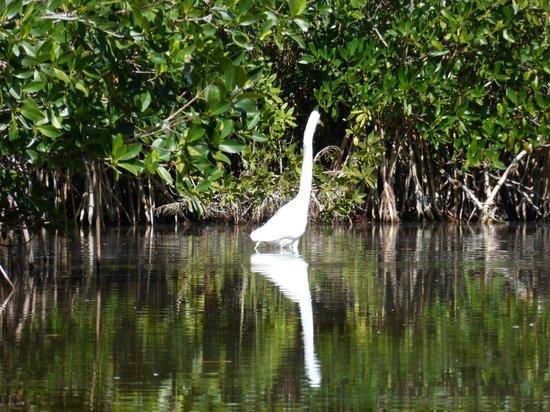 Shurr Adventures Everglades: great white egret fishing