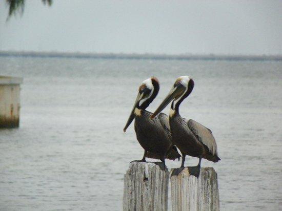 Bay Harbor Hotel : Pelicans