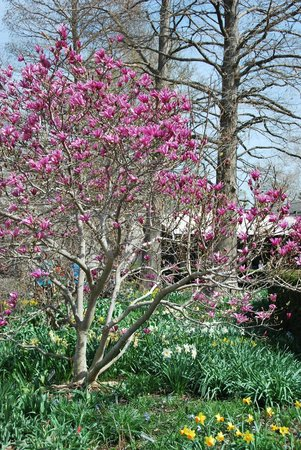 Missouri Botanical Garden: magnolia tree