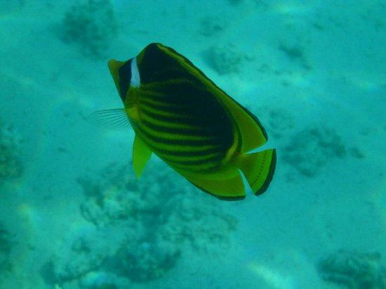 Savoy Sharm El Sheikh: snorkelling