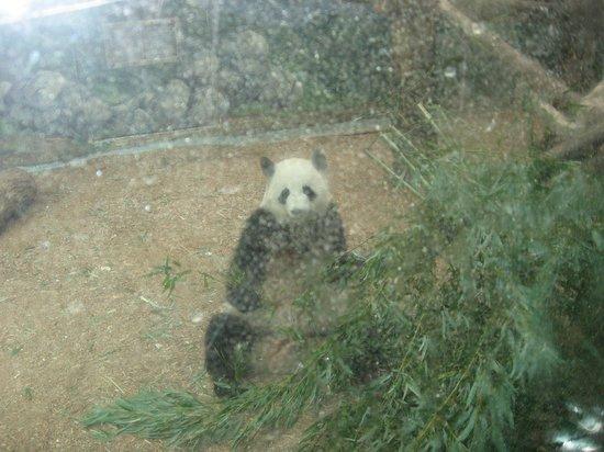 Panda eating at the Zoo Atlanta