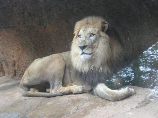 Regal lion at rest at Zoo Atlanta