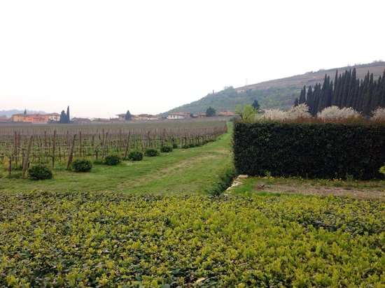 Sant'Ambrogio di Valpolicella, Italia: The vineyard