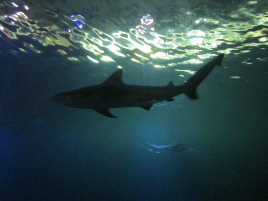 Shedd Aquarium: Sharks!