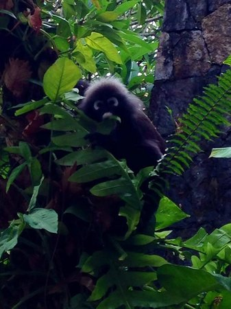 The Datai Langkawi : Local monkey at breakfast