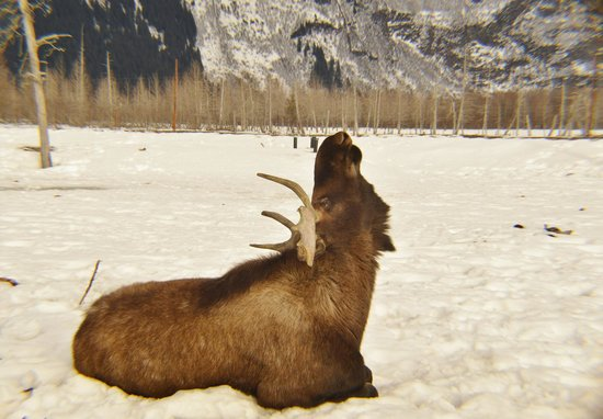 907 Tours: Anchorage - Day Tours: Jack the Moose posing at the Alaska Wildlife Conservation Center
