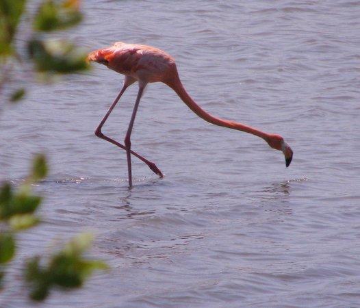 Bonaire Vista Tours: Wild flamingo shrimping.