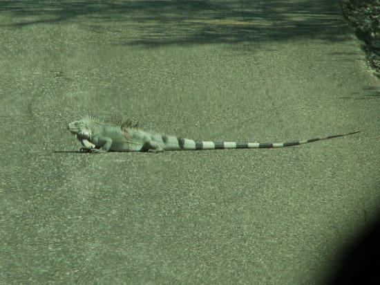 Bonaire Vista Tours: Giant iguana in the road.