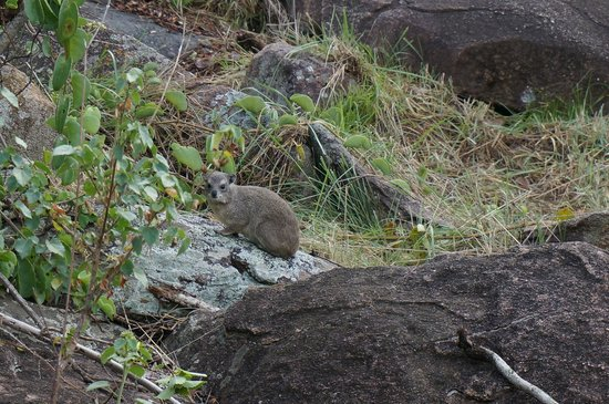 Serengeti Migration Camp: Hyrax outside the tent