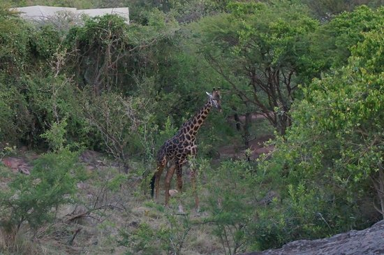 Serengeti Migration Camp: Giraffe near parking area