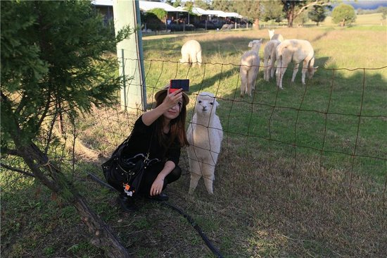 Starline Alpacas Farmstay Resort : taking photo with cute Lucy