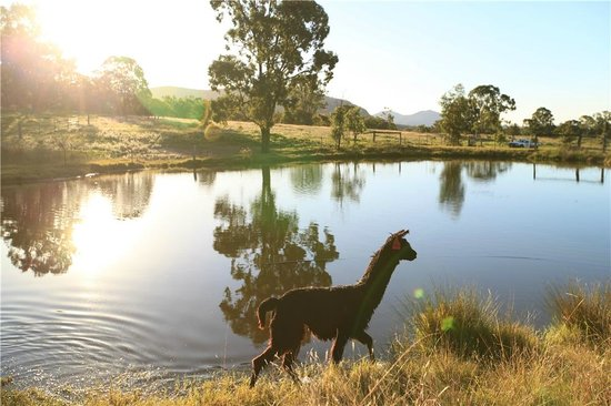 Starline Alpacas Farmstay Resort : alpaca and lake view under the sunset