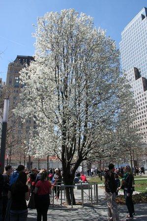 Mémorial du 11-Septembre : The Survivor Tree