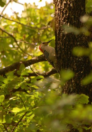 McCown Valley Park : Gold fronted woodpecker