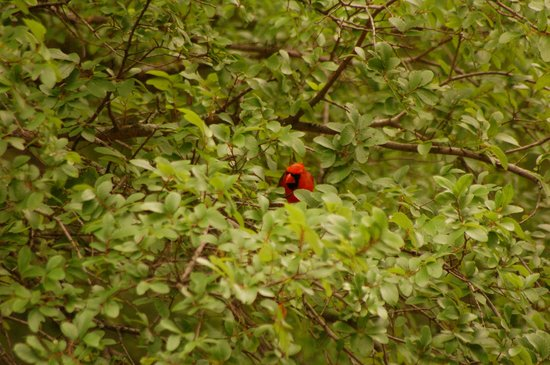 McCown Valley Park : Cardinal playing peekaboo