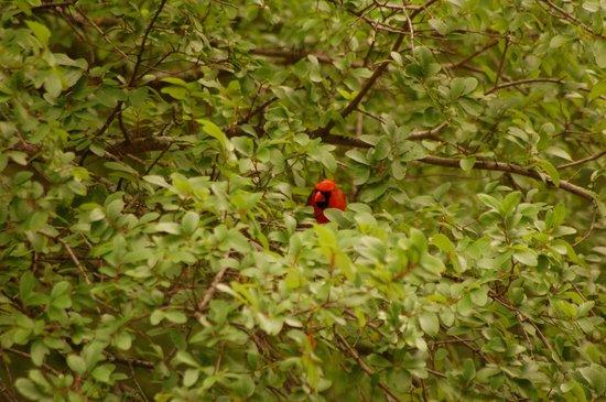 McCown Valley Park: Cardinal playing peekaboo