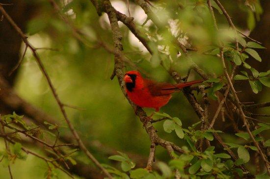 McCown Valley Park: Cardinal looking down