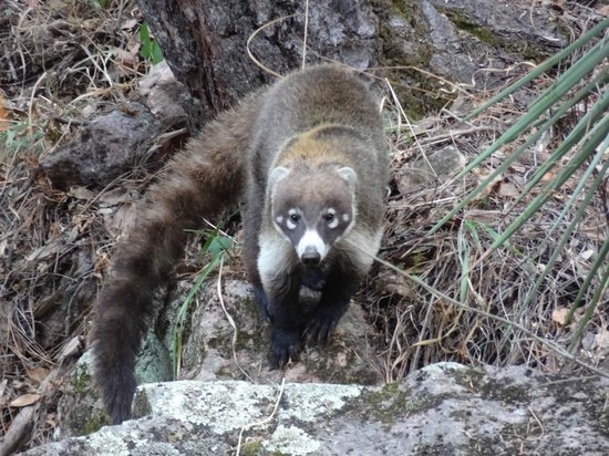 Cave Creek Ranch: Coati