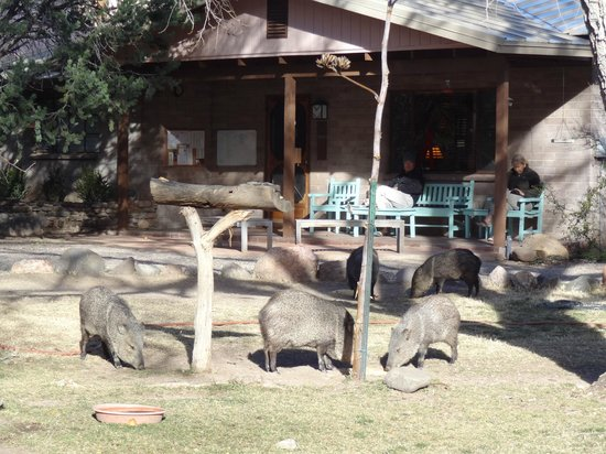 Cave Creek Ranch: Javelina having breakfast