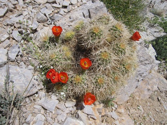 Aguereberry Point: Blooming cacti