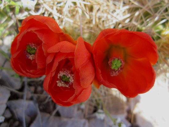 Aguereberry Point: Cactus blooms